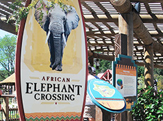 African Elephant Crossing